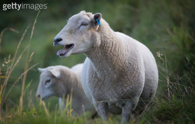 Only in Wales: Fears of weed-fueled sheep going on psychotic rampage:  #AllThingsWeed