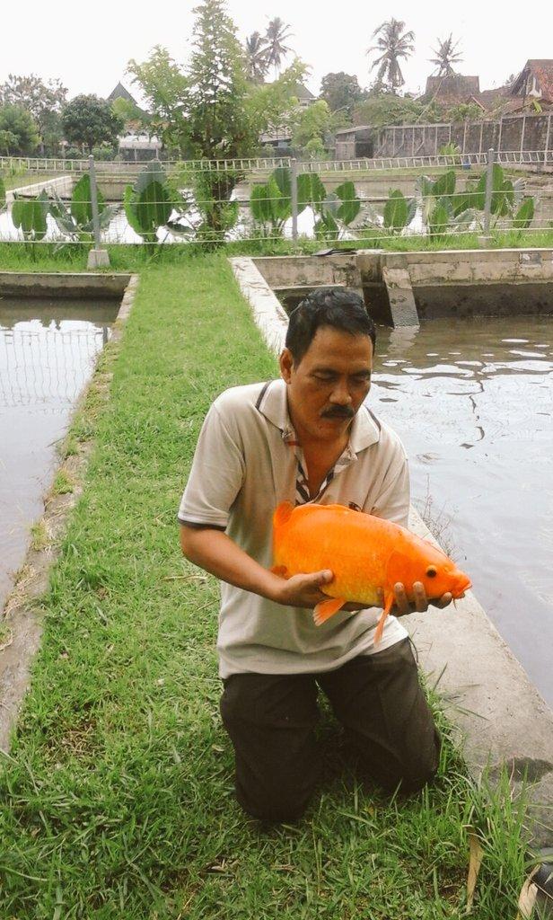 Ikan Mas Merah : merah, Taskia, (@taskia_hiakia), Twitter