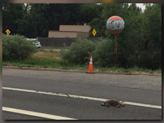 Someone tied a 'Get well soon' balloon to a dead raccoon in Colorado.