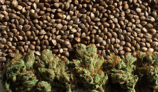 Grow Q&A: Purchasing Pot Seeds. Should You Do It Online?