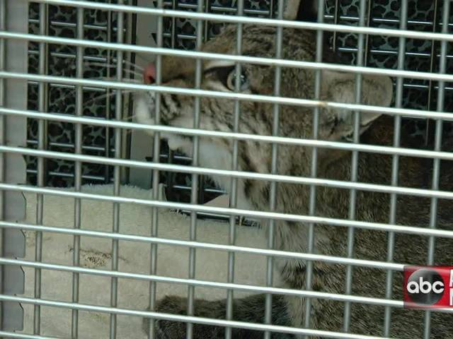 Bobcat hit by car in Temple Terrace undergoes surgery
