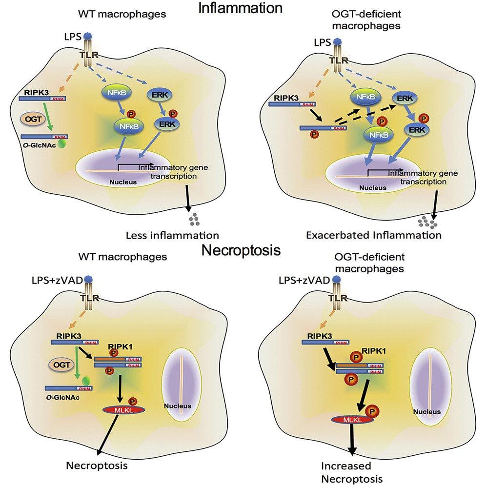 medium resolution of immunometabolism network