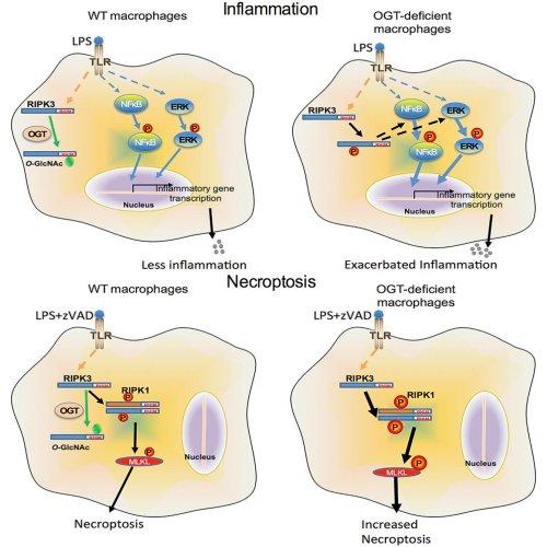 small resolution of immunometabolism network