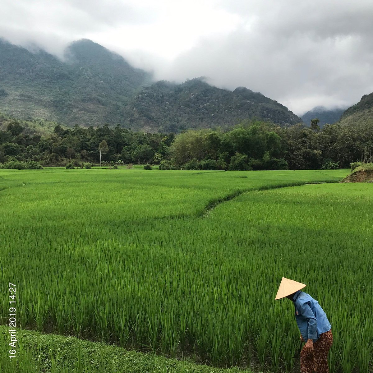 Rice fields of Mai Châu: getting ready for first harvest