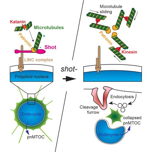 small resolution of  jos pastor pareja s lab tsinghua uni just out in dev cell spectraplakin shot maintains perinuclear microtubule localization in drosophila polyploid