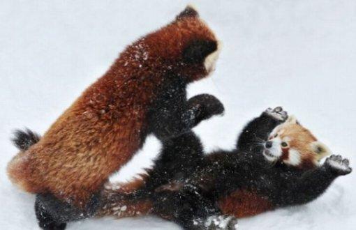 Kung Fu Panda Wallpaper Cute レッサーパンダの威嚇が可愛すぎる!!「抱っこしてくれアピールにしか見えない」 Togetter
