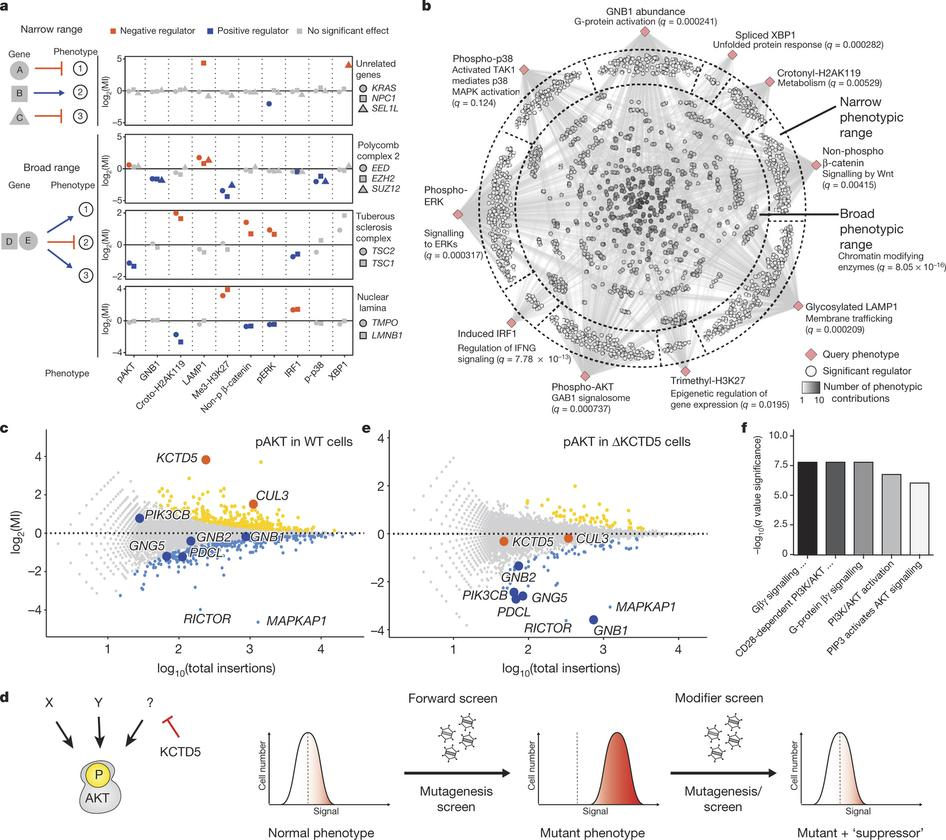 Genetic wiring maps of single-cell protein states reveal