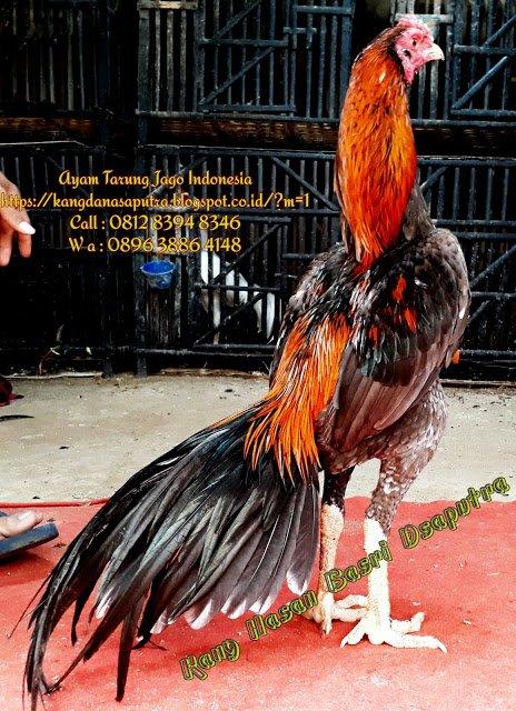 Tarung Jago Birma : tarung, birma, Peternak, Aduan, (@ayam_aduan), Twitter