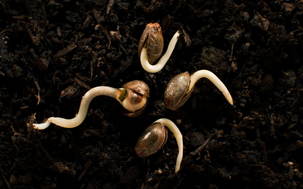Check Out 5 Handy Tips For Germinating Old Cannabis Seeds!