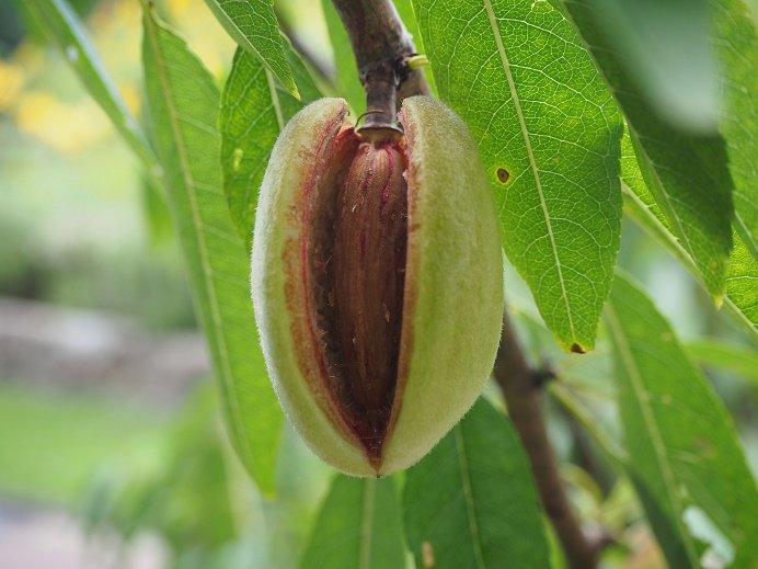 test ツイッターメディア - ✿ハーブガイド本日の一押し!アーモンド・・・バラ科。果実園では、アーモンドの果肉が割れ、中の殻が見えている様子をご覧いただけます🌸モモやアンズ、ウメなどに近い植物です。モモやウメは果肉を食べますが、アーモンドは果肉が薄く種の中に一つずつ入っている「仁(ジン)」の部分を食べます。 https://t.co/s3ecAyLeBM