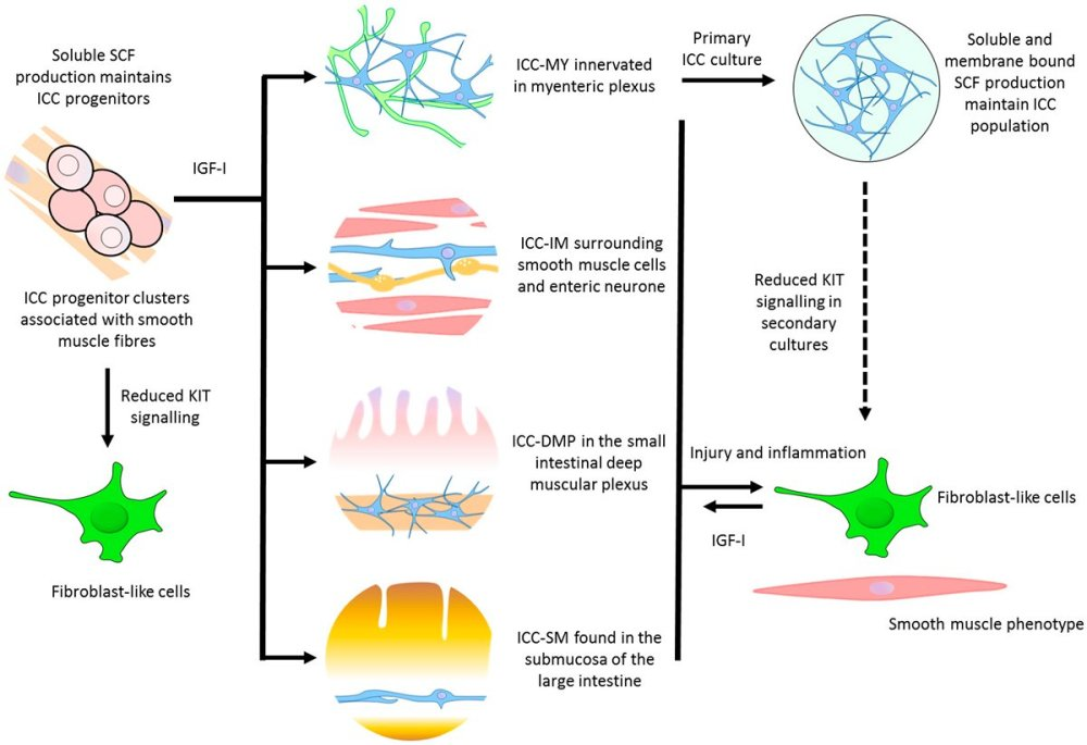 medium resolution of  review potential for gut organoid derived interstitial cells of cajal in replacement therapy westernsydneyu http ow ly pudm30fwqr5 pic twitter com