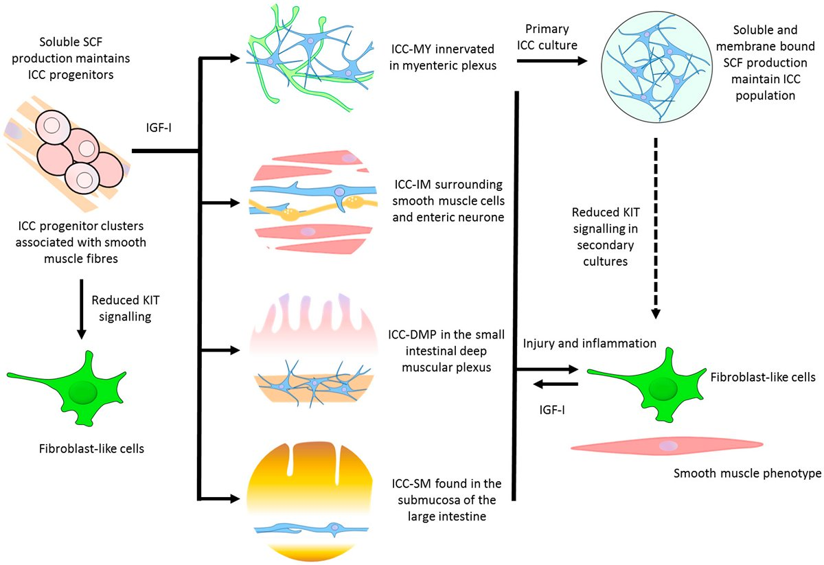hight resolution of  review potential for gut organoid derived interstitial cells of cajal in replacement therapy westernsydneyu http ow ly pudm30fwqr5 pic twitter com