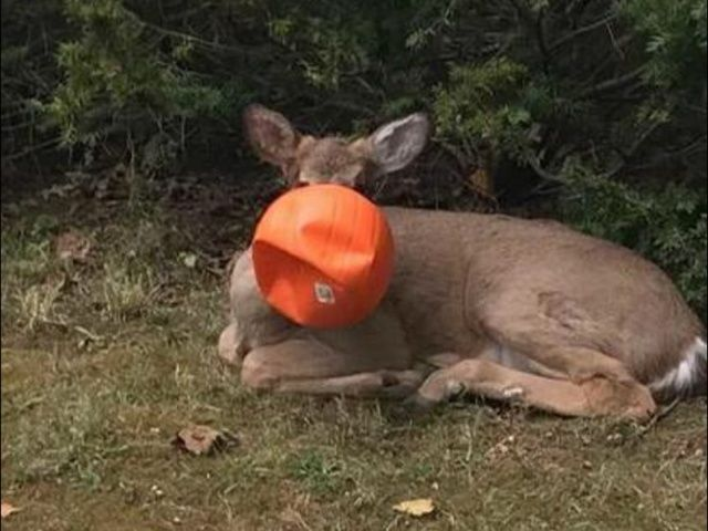 Ohio neighbors rescue deer whose head was trapped in plastic pumpkin bucket