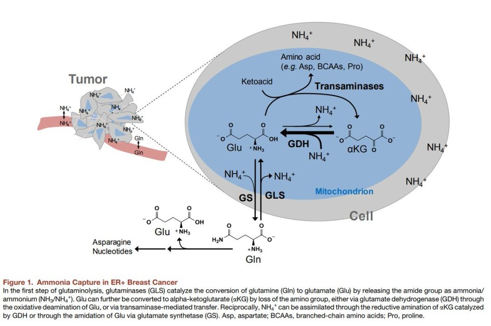 medium resolution of lyssiotis lab on twitter check out mengrou s preview in cell metabolism on important new work from the haigislab harvardmed on nh3 assimilation in