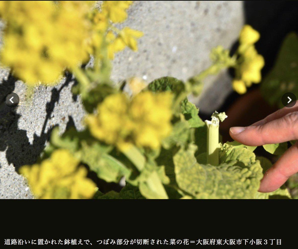 test ツイッターメディア - 司馬遼太郎記念館(大阪府東大阪市)の周辺に飾られた菜の花(2月12日の司馬の命日「菜の花忌」にちなむ)蕾約800本が切断され、食用にされた疑い。記念館では、ひとまず被害届は出さず、「改心を呼びかけるポスター」を貼るそうです。 https://t.co/HWjPhp8vqY