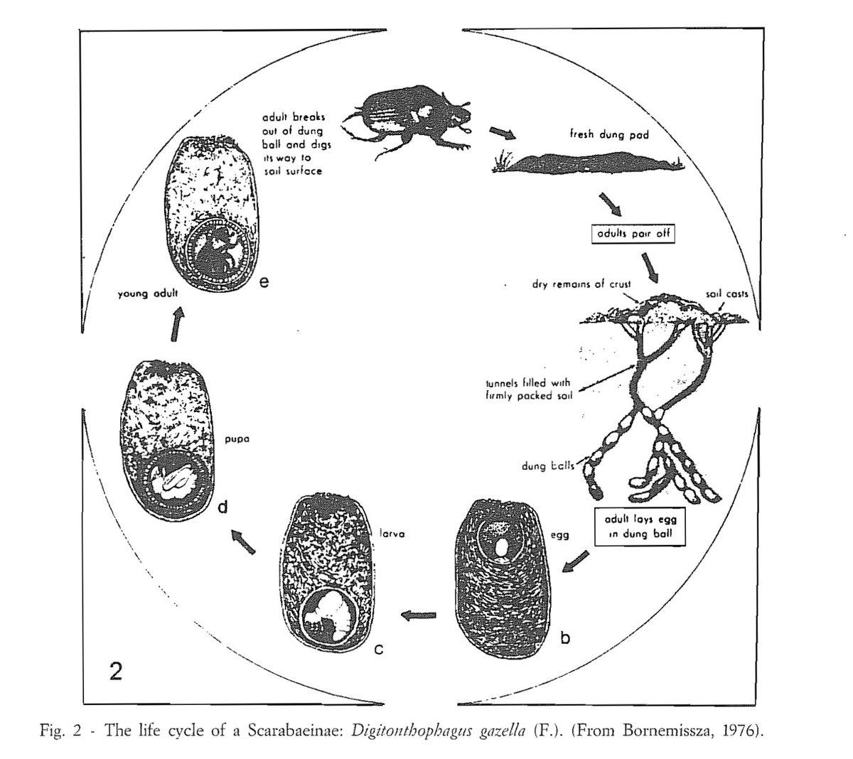 Maycintadamayantixibb Dung Beetle Life Cycle Diagram