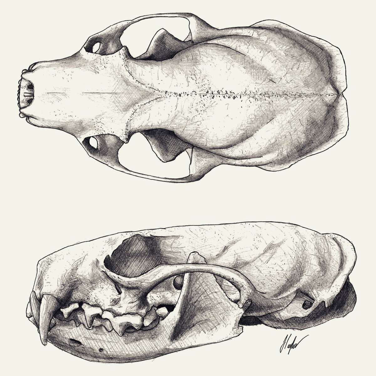 hight resolution of jed taylor on twitter the skull is an american mink these mustelids have impressively robust jaws and large teeth thanks to everyone that guessed