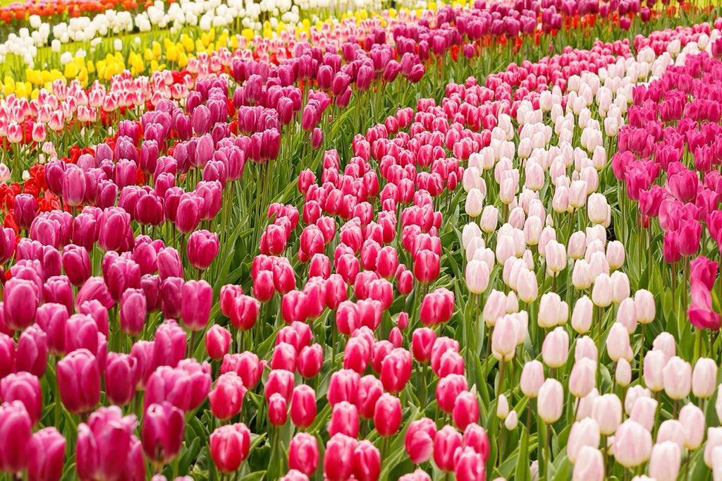 Campo De Tulipanes Osorno