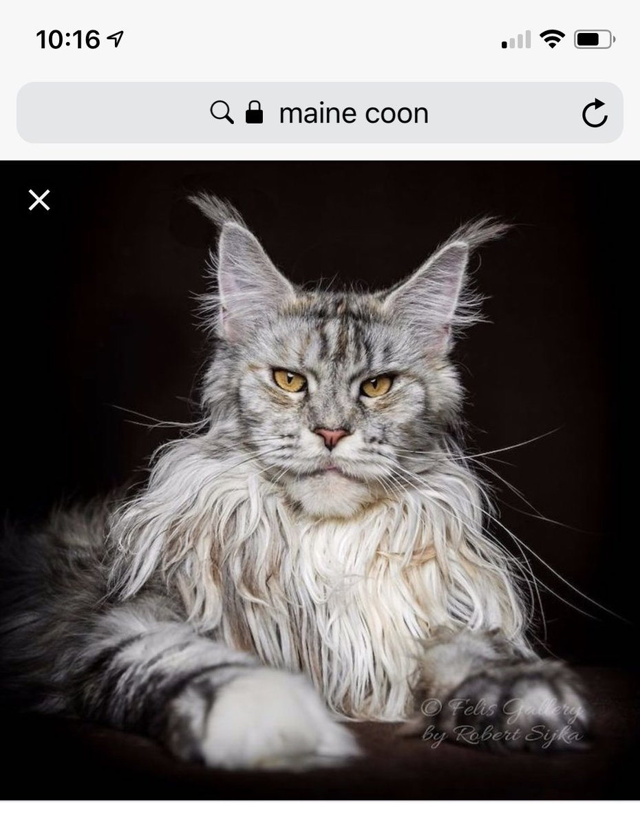 Ron Perlman Maine Coon : perlman, maine, Jeffrey, Cranor, Twitter:, Siri,, Perlman, Alternate, Universe, Which, Cats?…