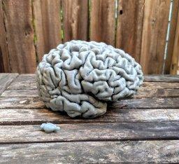 Comparación 1:1 del cerebro de una rata y un cerebro humano.