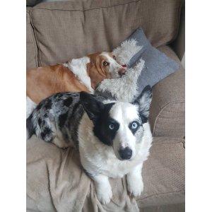 Stunning Cardigan Welsh Corgi Puppies Cardigan Welsh Corgi