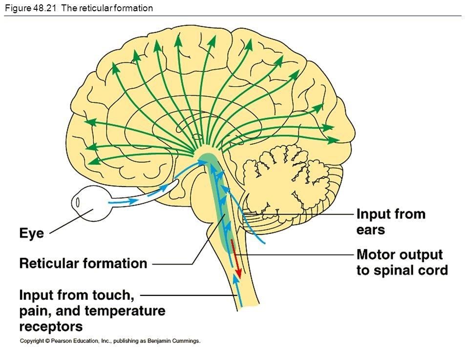 reticular formation diagram single humbucker wiring reticformation twitter 0 replies retweets likes