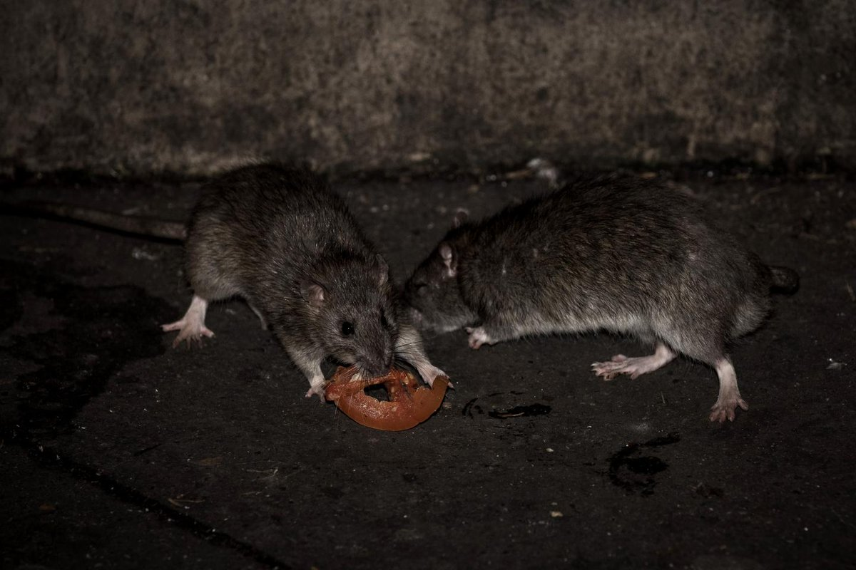 What is the hantavirus? Woman dies from rare rodent-borne illness