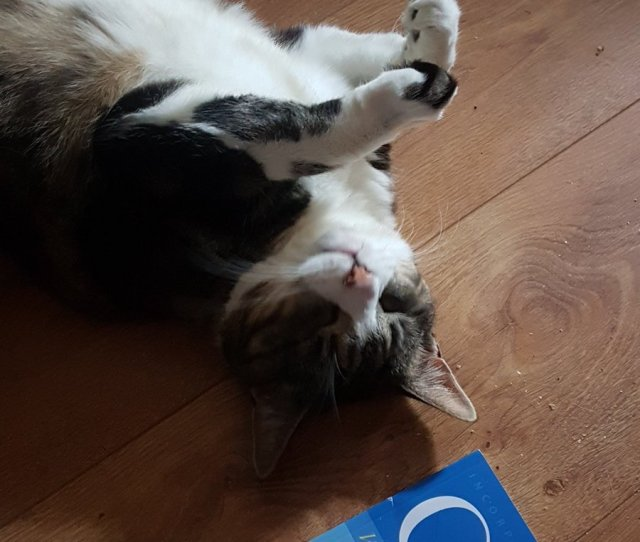 Sarah Tabbylicious And Nella Tabbylicious On Twitter Like To Lie On My Back A Lot If Staff Touched My Stomach I Will Get Ferocious  E  A E  A E  A