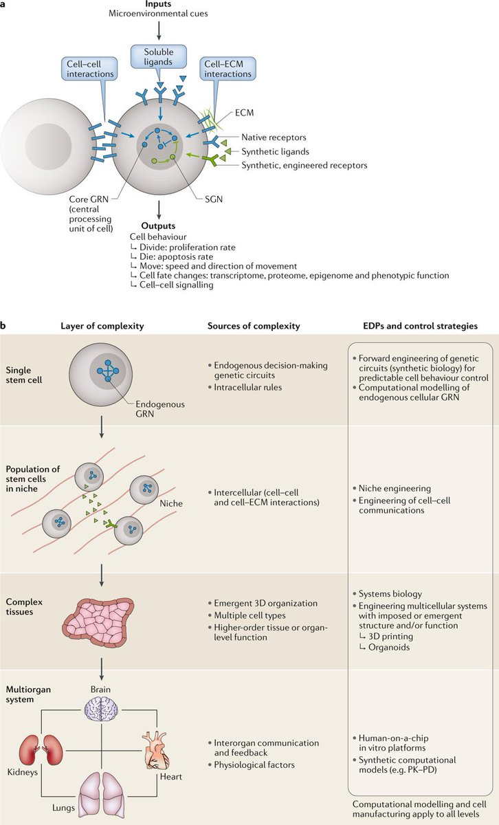 medium resolution of nature reviews genetics twitter stem cell bioengineering building from stem cell biology https t co h7ktqtqjg8 review by mtewary nika shakiba and