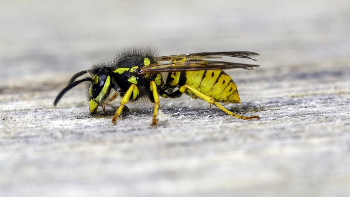 Wasps Eating Wood