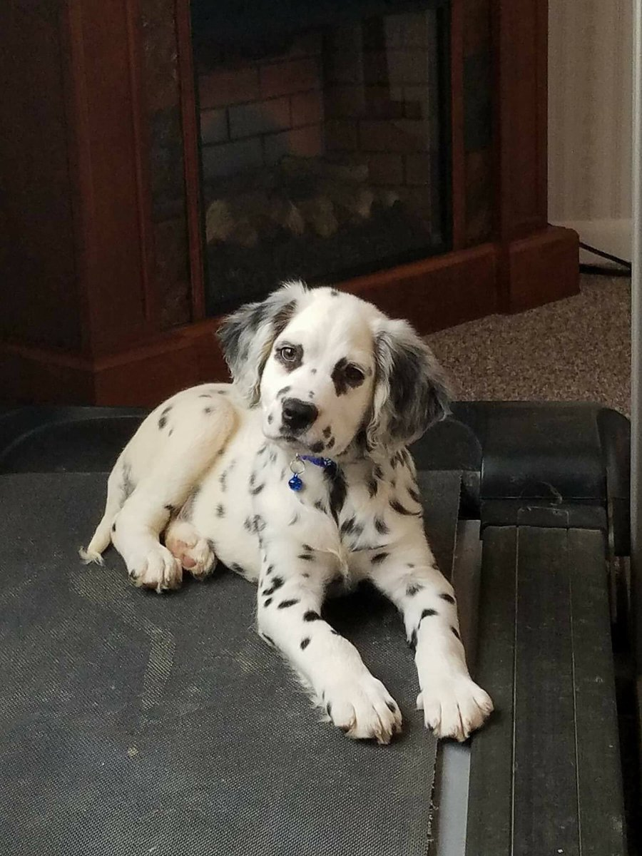 Long Haired Dalmatian Puppy For Sale : haired, dalmatian, puppy, Dalmatian, Breeder, Online