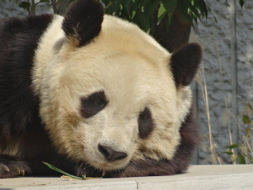 test ツイッターメディア - このようなジャイアントパンダに関する解説を、王子動物園で開催中の特別展「みんな大すき・ジャイアントパンダ ~新たなる魅力発見~」で行っています。ちなみにパンダのオスは鼻面が大きいため、メスよりも目の模様が離れているそうです(王子動物園のタンタンはメスです) https://t.co/BRCCKvZCSa https://t.co/e4wBct23Rk