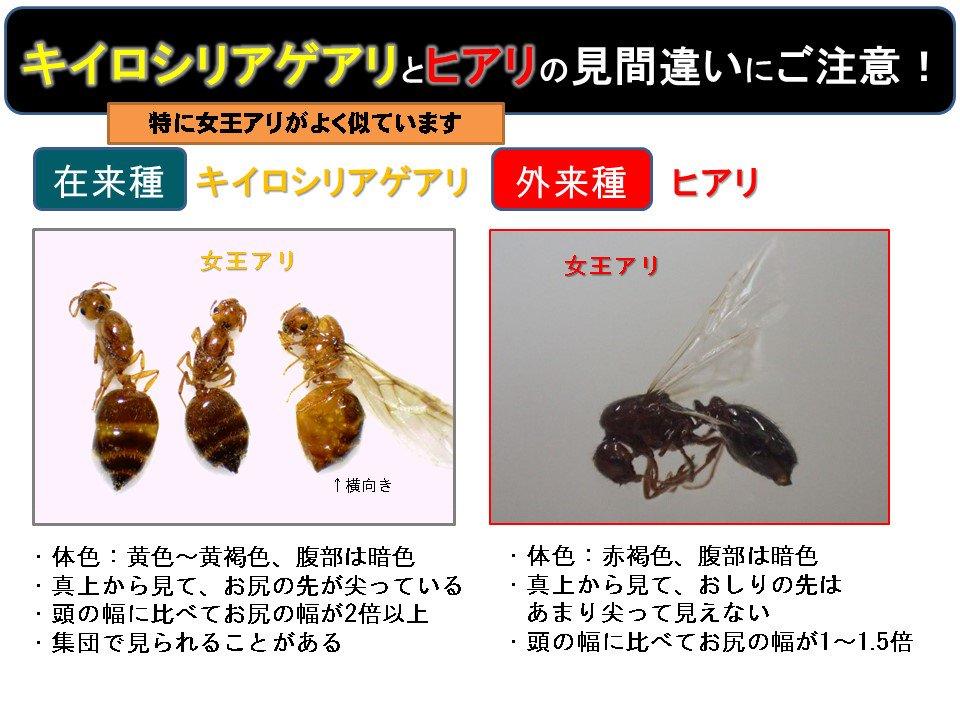 test ツイッターメディア - 【ヒアリとの見間違いにご注意!】 国内に広く生息するキイロシリアゲアリ。9月に羽アリが多く飛び、ヒアリの女王アリとよく間違われます。野外で見かけてもむやみに駆除しないようにしましょう。ヒアリかなと思ったらヒアリ相談ダイヤルへ(0570-046-110)。 https://t.co/udiEPlFgS8 https://t.co/9dtGVhWqho