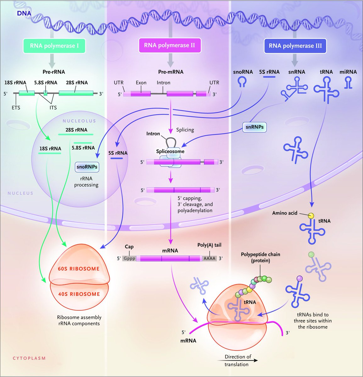 hight resolution of  dna provides the coding information for genes which are transcribed into messenger rnas mrnas that are then translated by ribosomes into proteins