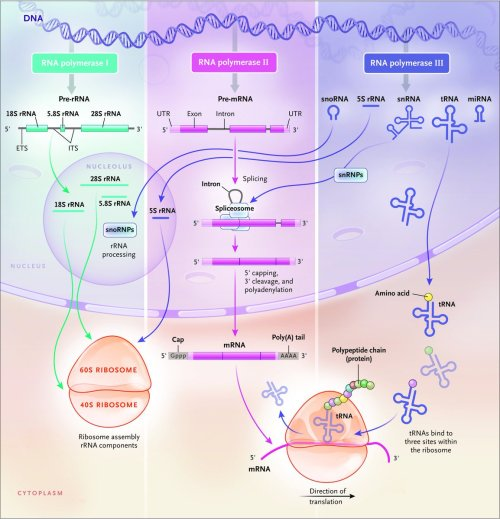 small resolution of  dna provides the coding information for genes which are transcribed into messenger rnas mrnas that are then translated by ribosomes into proteins