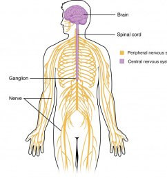 peripheral nervous system pns the sensory motor neurons that connect the cns to the rest of the body appsychpic twitter com ildaessp8j [ 1024 x 954 Pixel ]