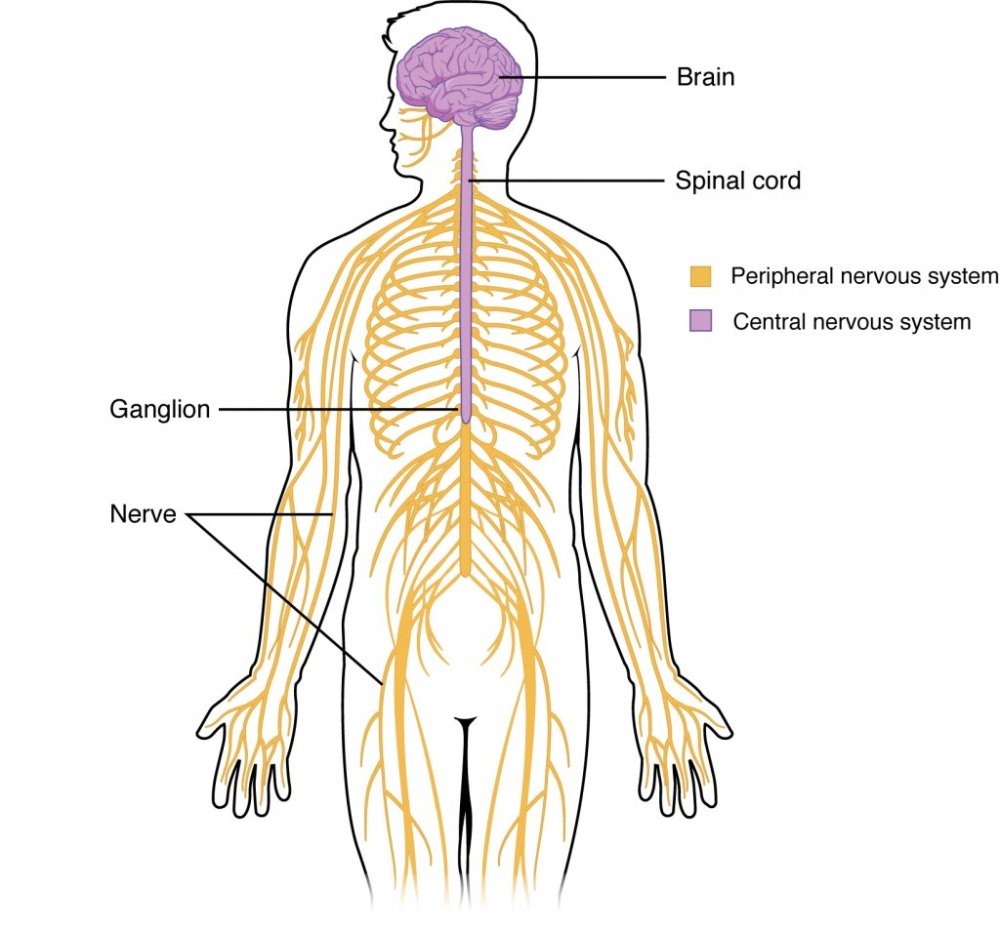 medium resolution of peripheral nervous system pns the sensory motor neurons that connect the cns to the rest of the body appsychpic twitter com ildaessp8j