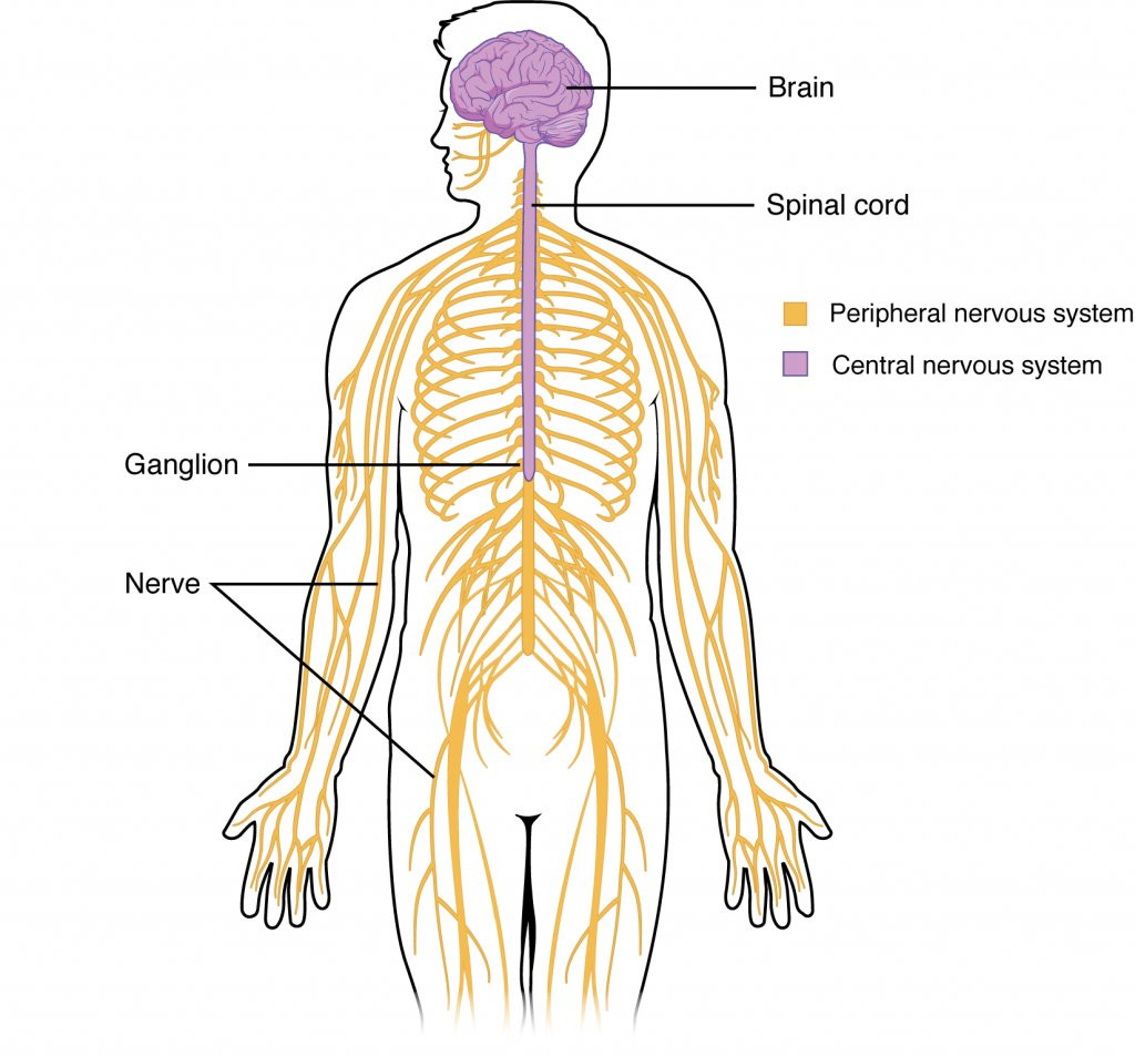 hight resolution of peripheral nervous system pns the sensory motor neurons that connect the cns to the rest of the body appsychpic twitter com ildaessp8j