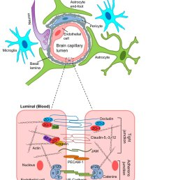 mechanisms of blood brain barrier damage in ischemic stroke for details http ow ly hkwq30mvs8w fig 1 of 3 schematic diagram of the neurovascular  [ 927 x 1200 Pixel ]