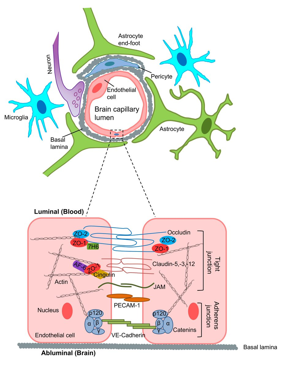 hight resolution of  mechanisms of blood brain barrier damage in ischemic stroke for details http ow ly hkwq30mvs8w fig 1 of 3 schematic diagram of the neurovascular