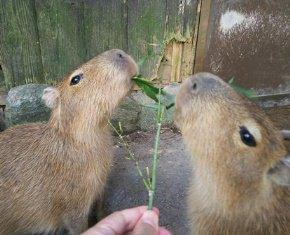 test ツイッターメディア - 横取りするおっかない姉カピさんがいないところで、再び、ふたごちゃんに竹の葉を献上!最初は仲良く食べていましたが、残り少なくなった葉っぱをめぐって喧嘩勃発!どうか仲よくしてください・・・。😥 https://t.co/H9tNoOwgfZ