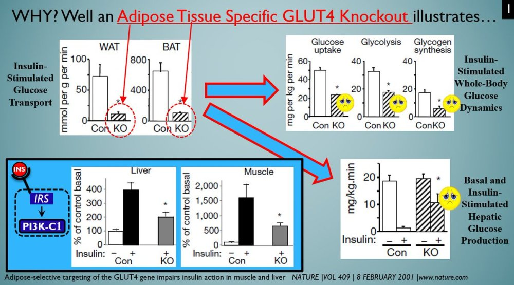 medium resolution of  the glucose transport in at cells only and tip the mouse into massive ir hell hypertrophy hammers the glucose transport in at cells and hence isulin