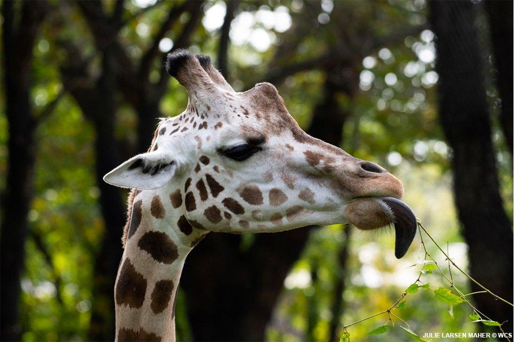 bronx zoo on twitter
