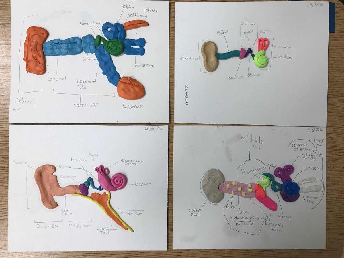 hight resolution of a look at our ear models that we created as part of our final project in our sound unit handsonlearning sciencepic twitter com 6oqpjh0cxp