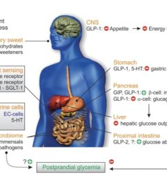 the gut microbiome may mediate the subsequent metabolic response after nutrient ingestion this new review in frontendocrinol explores gut mechanisms  [ 1200 x 728 Pixel ]