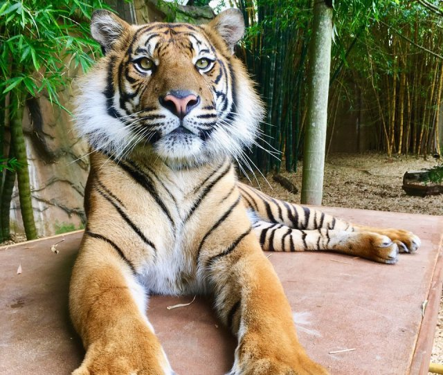 Scott On Twitter These Are Wild Animals No Matter How Tame Anyone Thinks A Tiger Is Its Still Wild At Heart Can Lash Out We Hear These Sad Stories