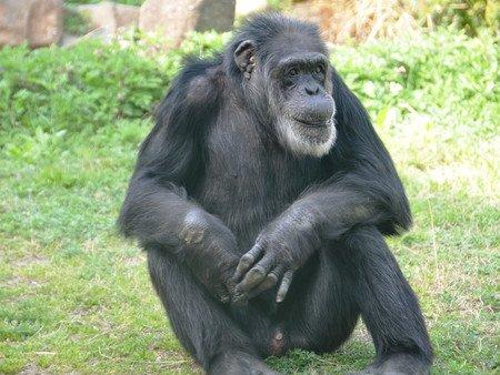 test ツイッターメディア - 【69歳】国内最高齢のチンパンジー「ジョニー」が天国へ 神戸市立王子動物園 https://t.co/YntmDjT3Qd  チンパンジーの平均寿命は50歳程度で、「世界でも5本の指に入る長寿では」(同園)という。 https://t.co/51N3U3icVz