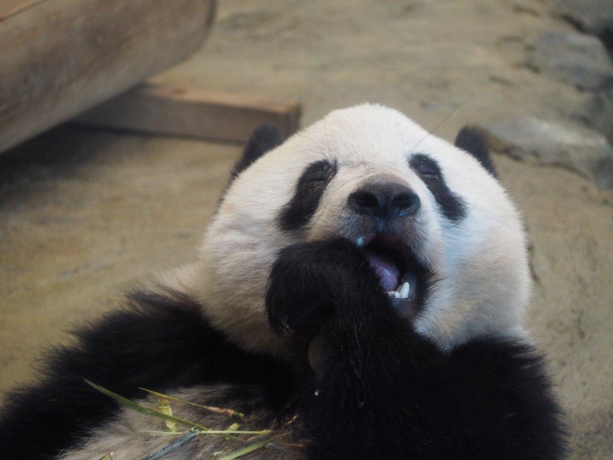 test ツイッターメディア - シャンシャン3回目の時はずっと笹食べてたんだけど、ほぼ目を閉じて食べてた。おねむだったのかな? #シャンシャン #パンダ #上野動物園 https://t.co/BlxL1183eb