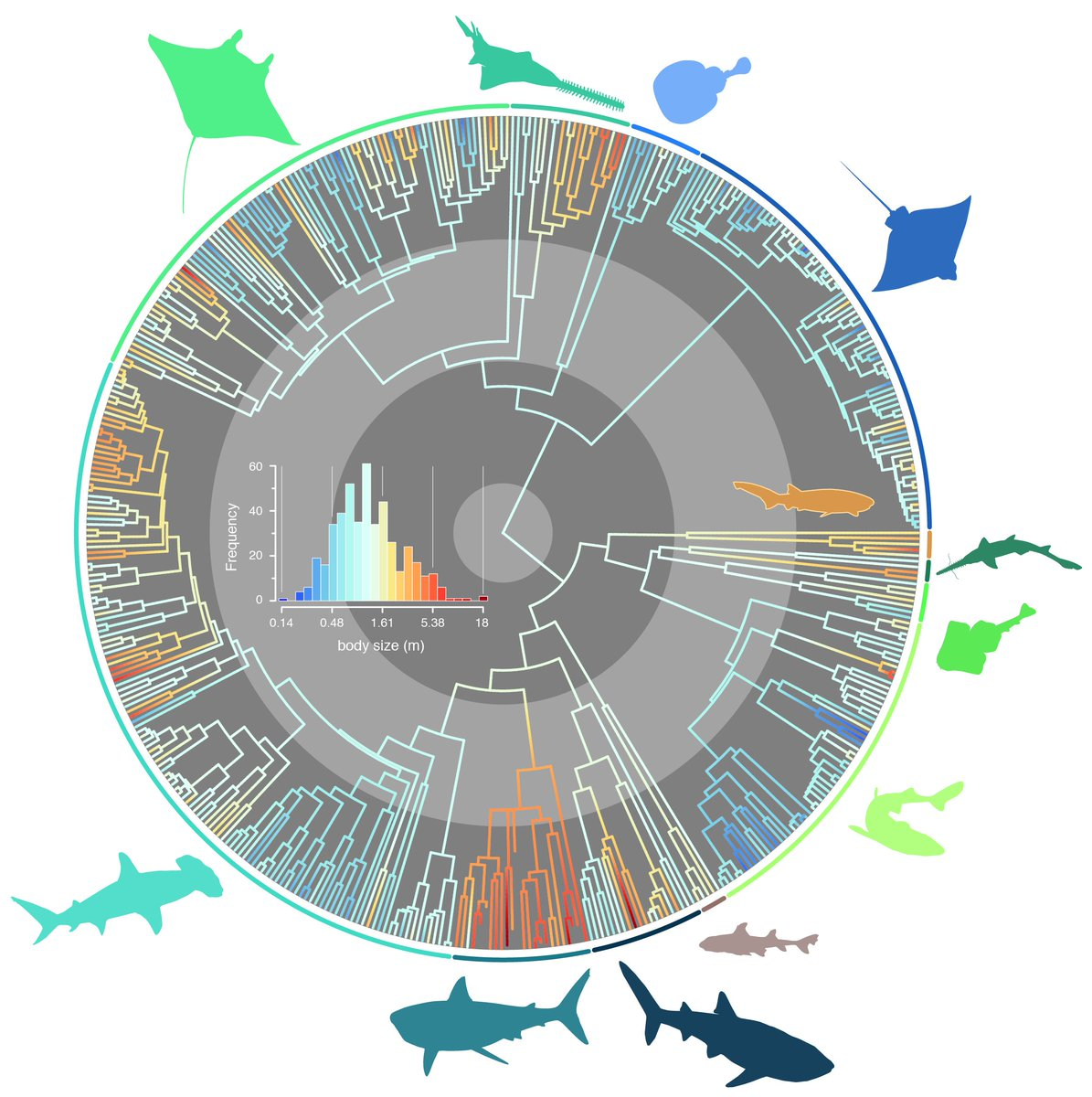 hight resolution of our new paper in journal evo studies the evolutionary pathways toward shark gigantism https onlinelibrary wiley com doi full 10 1111 evo 13680