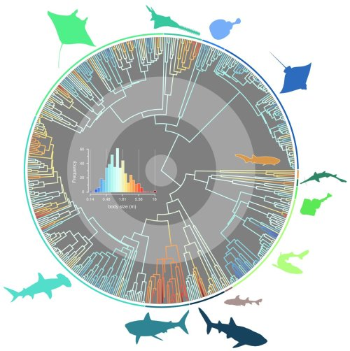 small resolution of our new paper in journal evo studies the evolutionary pathways toward shark gigantism https onlinelibrary wiley com doi full 10 1111 evo 13680